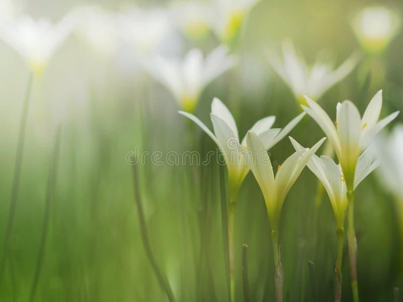 Pequeñas flores blancas hermosas con de niebla después de llover fotos de archivo
