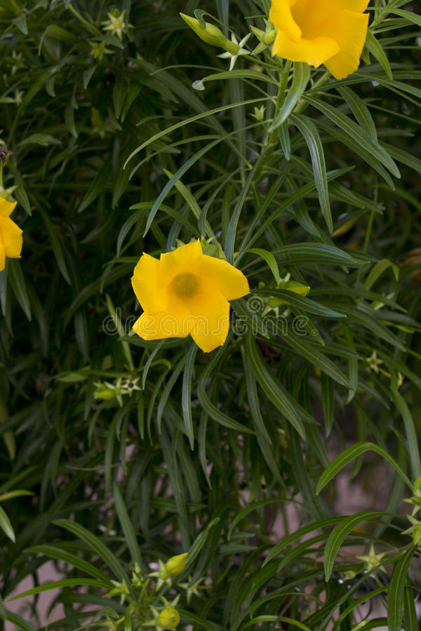 Pequeñas flores compañeras en lanzamiento del primer en la isla de los kos fotos de archivo libres de regalías