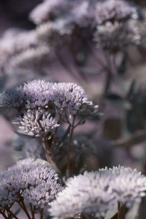 Pequeñas flores del primer Sedum Sedum prominente spectabile Ornam imagen de archivo