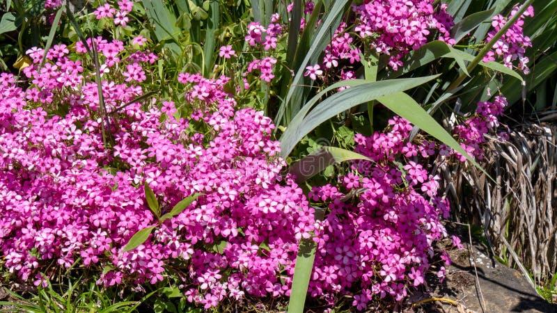 Pequeñas flores del rosa y de la rosa en jardín en la primavera fotografía de archivo libre de regalías