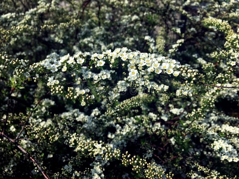 Pequeñas flores en una rama del spirea imágenes de archivo libres de regalías