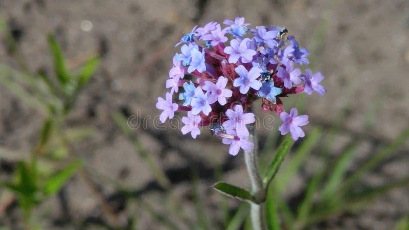 Pequeñas flores púrpuras fotografía de archivo