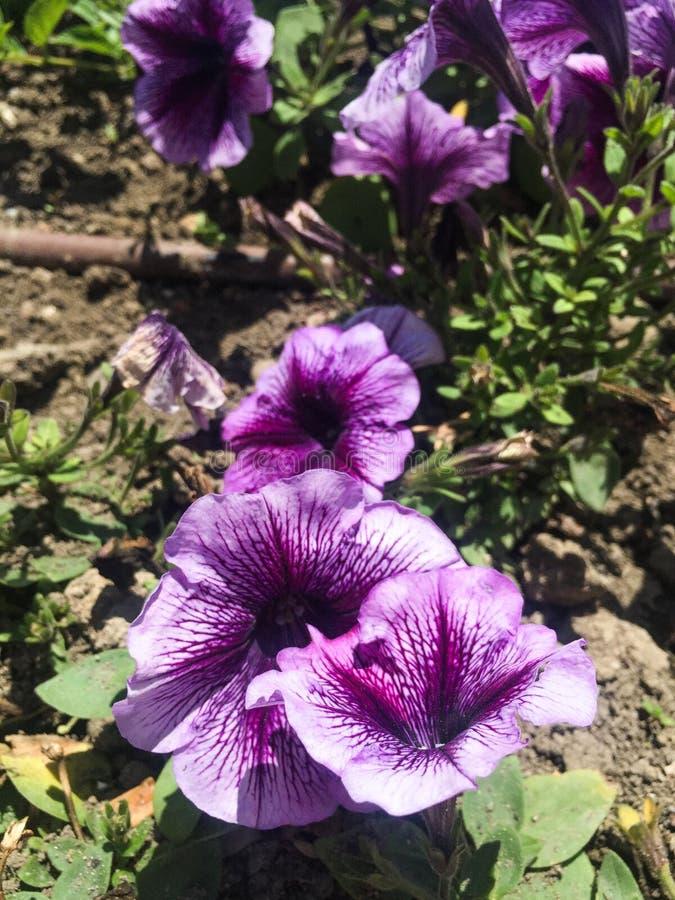 Pequeñas flores púrpuras agradables en verde fotos de archivo libres de regalías