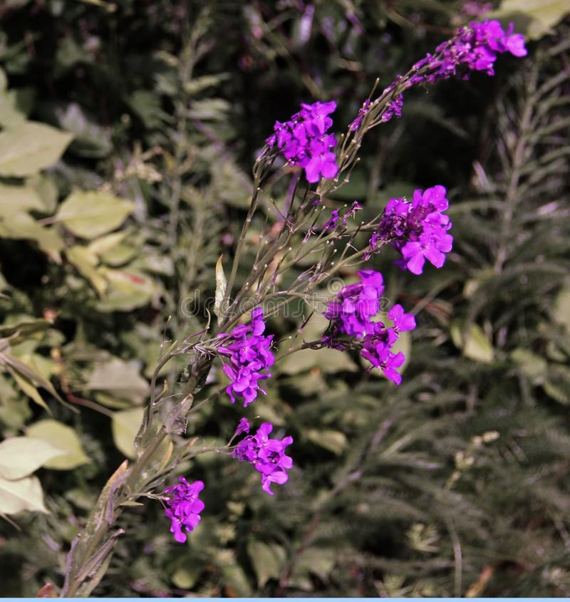 Pequeñas flores púrpuras hermosas en la cama de flor fotos de archivo
