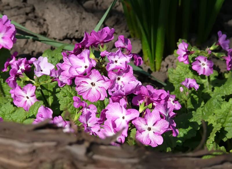 Pequeñas flores púrpuras hermosas Juliae de la prímula, también conocidos como la primavera de Julias o primavera púrpura imagen de archivo