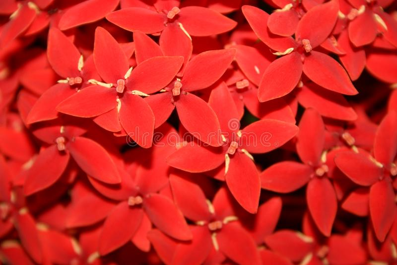 PequeÑas Flores Rojas Imagen De Archivo