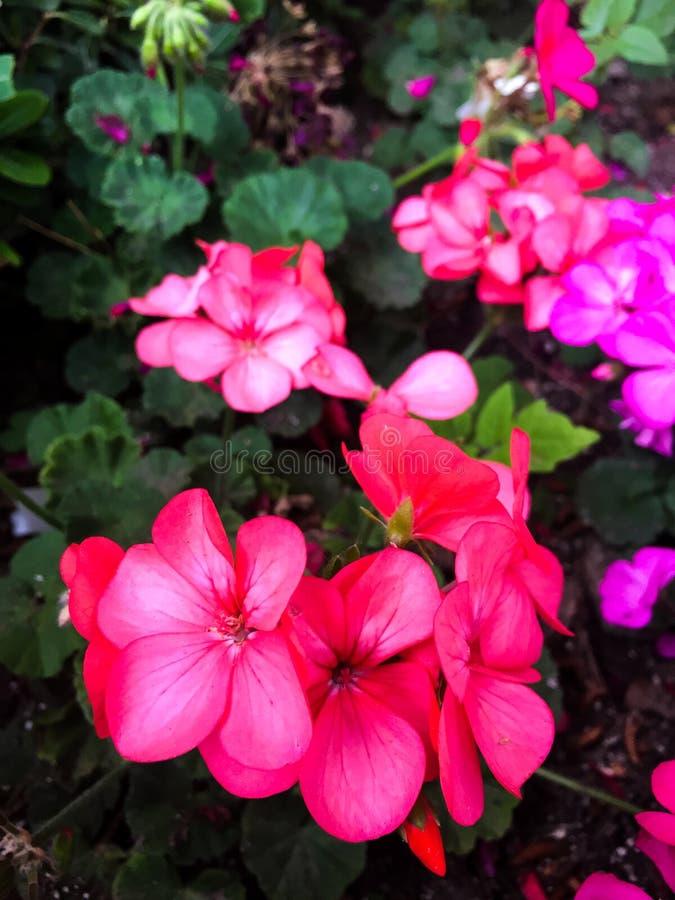 Pequeñas flores rojas salvajes fotografía de archivo