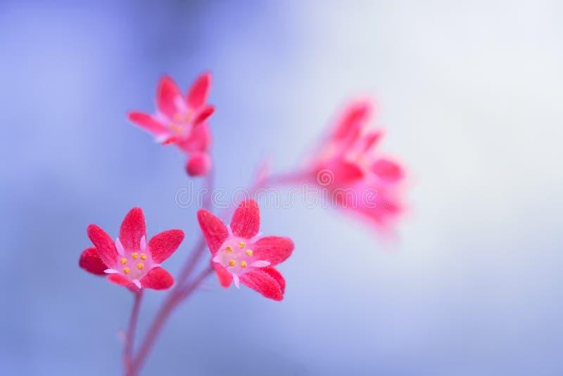 Pequeñas flores rojas, saxífraga delicada en el fondo Macro de flores rojas imagenes de archivo