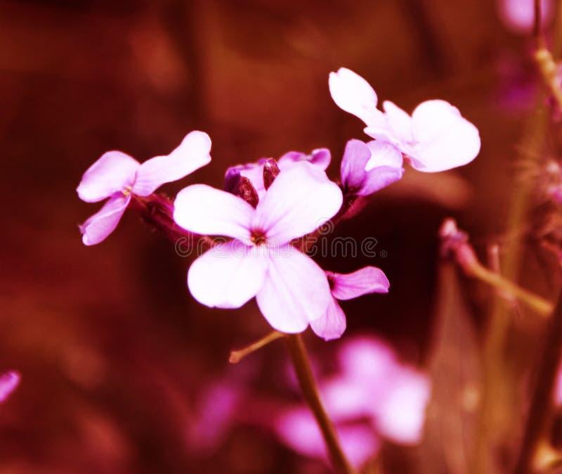 Pequeñas flores rosadas hermosas en la cama de flor fotografía de archivo libre de regalías