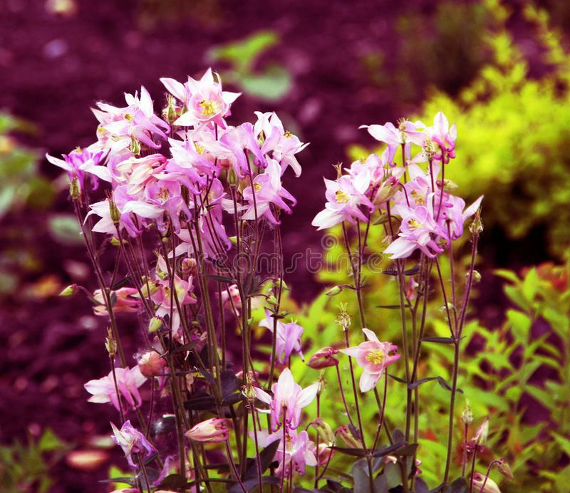 Pequeñas flores rosadas hermosas en la cama de flor imagen de archivo libre de regalías