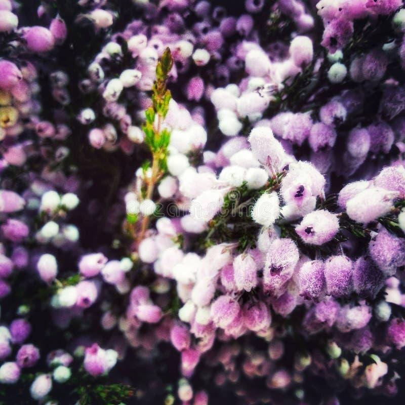 Pequeñas flores rosadas mullidas delicadas de las flores fotos de archivo