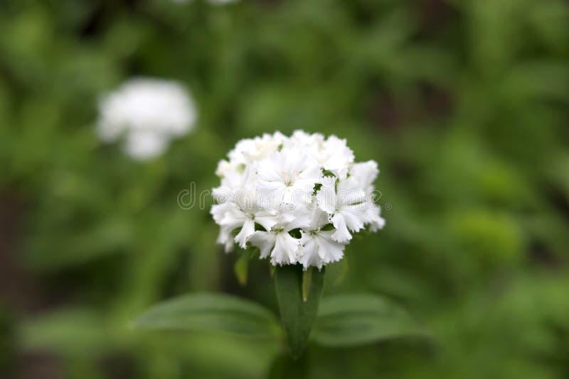 Pequeñas flores salvajes blancas en campo fotos de archivo libres de regalías