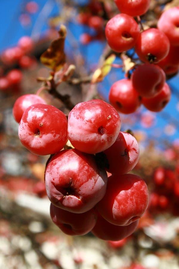 Pequeñas frutas rojas congeladas en el árbol foto de archivo libre de regalías