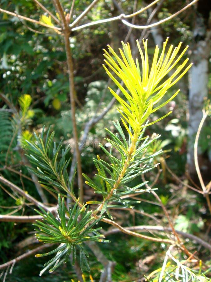 Pequeñas hojas del pino foto de archivo