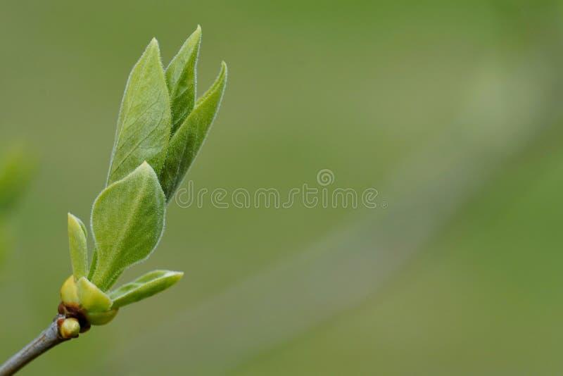 Pequeñas hojas en rama de la lila imagen de archivo