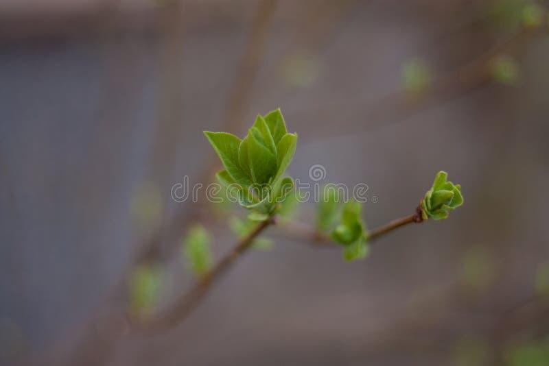 Pequeñas hojas jovenes en la rama imágenes de archivo libres de regalías