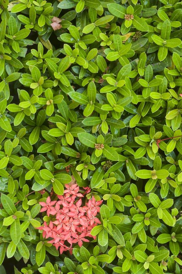 Pequeñas hojas verdes frescas de una planta tropical con las flores rosadas fotografía de archivo