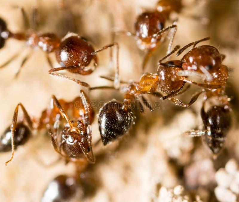 Pequeñas hormigas en naturaleza Macro fotos de archivo libres de regalías