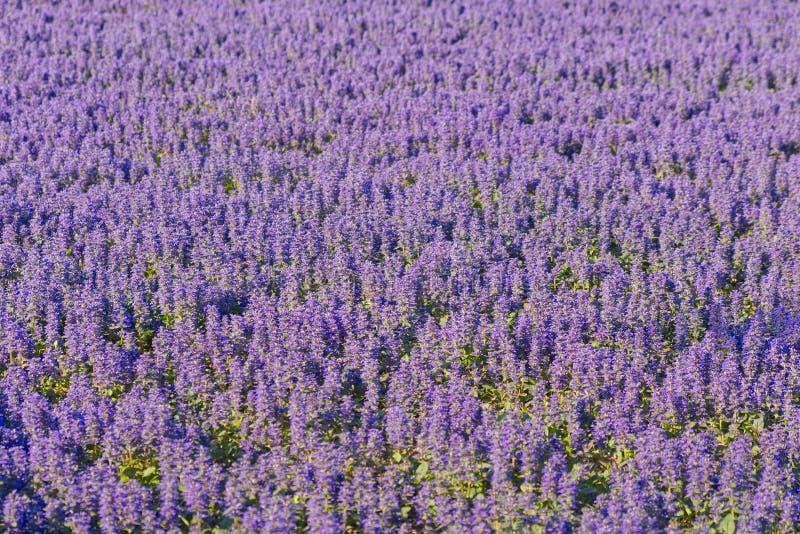 Pequeñas lavandas púrpuras hermosas en el campo con el foco selectivo imagen de archivo libre de regalías