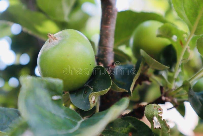 Pequeñas manzanas que crecen en un manzano fotos de archivo libres de regalías