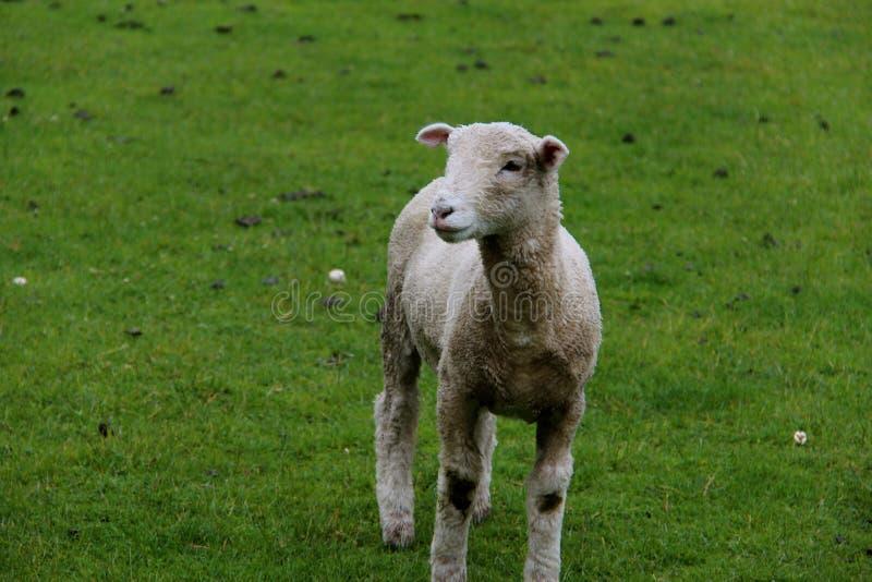 Pequeñas ovejas en la granja foto de archivo libre de regalías
