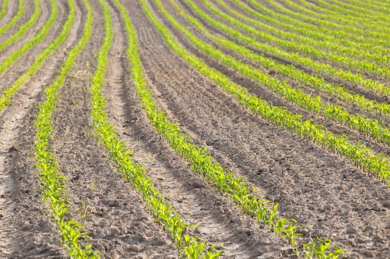 Pequeñas plantas de maíz foto de archivo libre de regalías