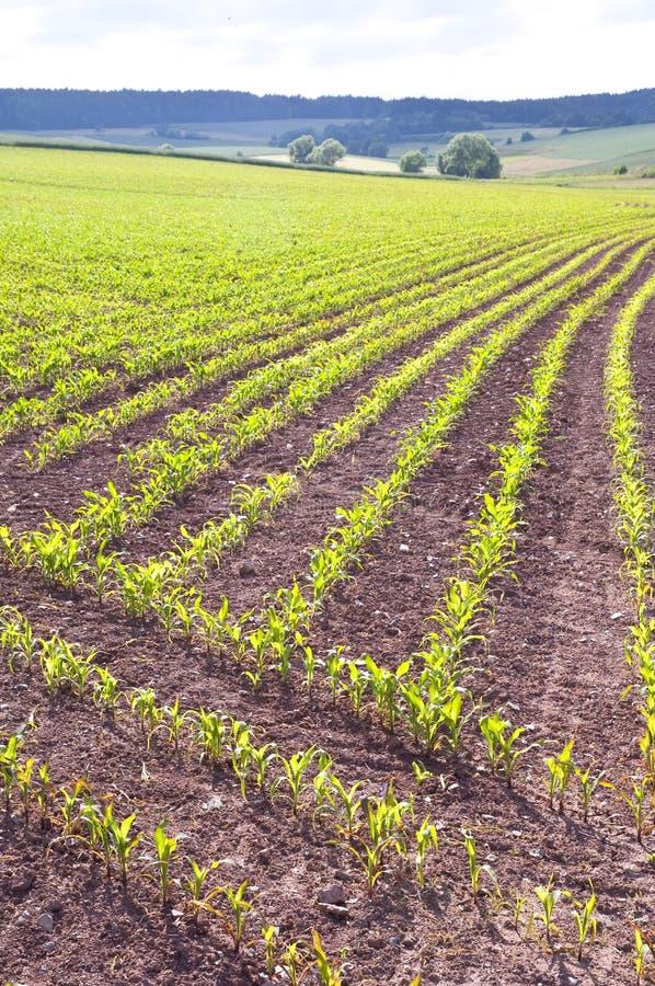 Pequeñas plantas de maíz fotos de archivo