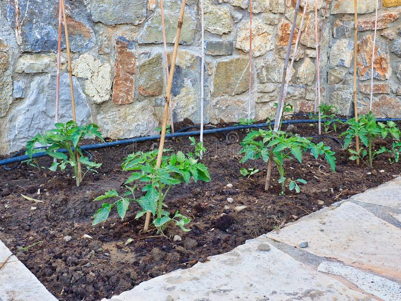 Pequeñas plantas de tomate verdes que crecen en jardín fotografía de archivo