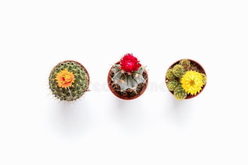 Pequeñas plantas del cactus en fondo blanco aislado MES suave brillante imágenes de archivo libres de regalías