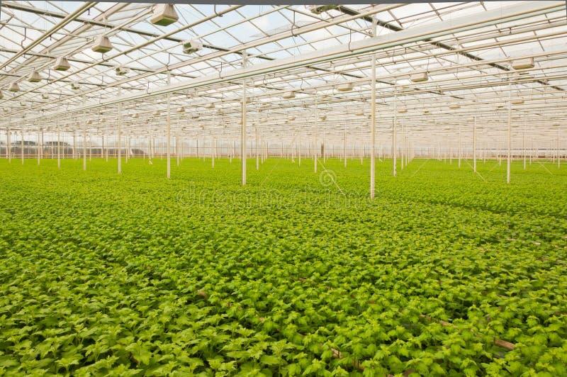 Pequeñas plantas del crisantemo en un invernadero imágenes de archivo libres de regalías