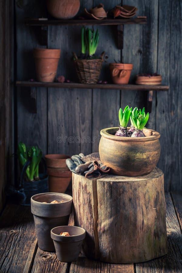 Pequeñas plantas verdes en la cabaña de madera rústica imagenes de archivo