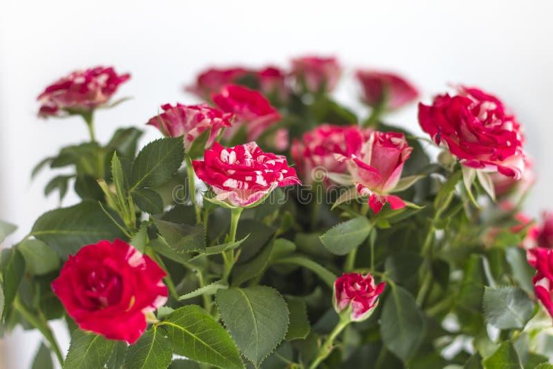 Pequeñas rosas hermosas en un ramo en un primer blanco del fondo fotografía de archivo libre de regalías