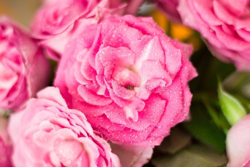 Pequeñas rosas rosadas en el rocío de la mañana fotos de archivo libres de regalías