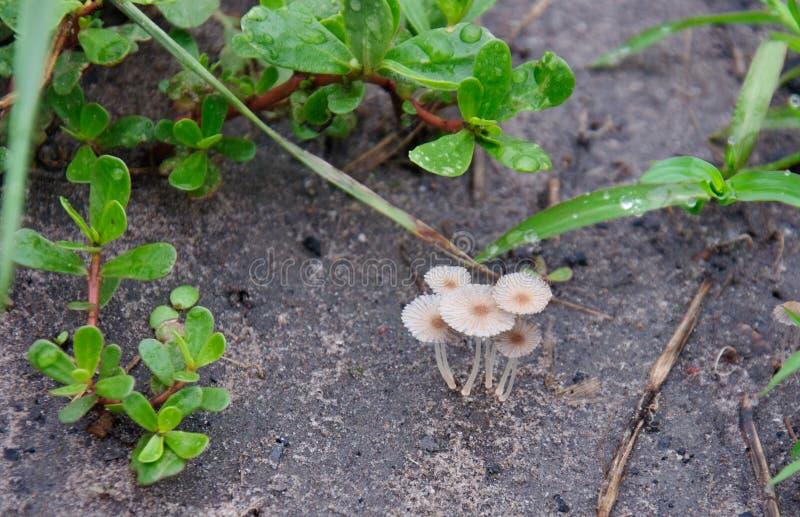 Pequeñas setas en la hierba La vegetación a lo largo del camino foto de archivo
