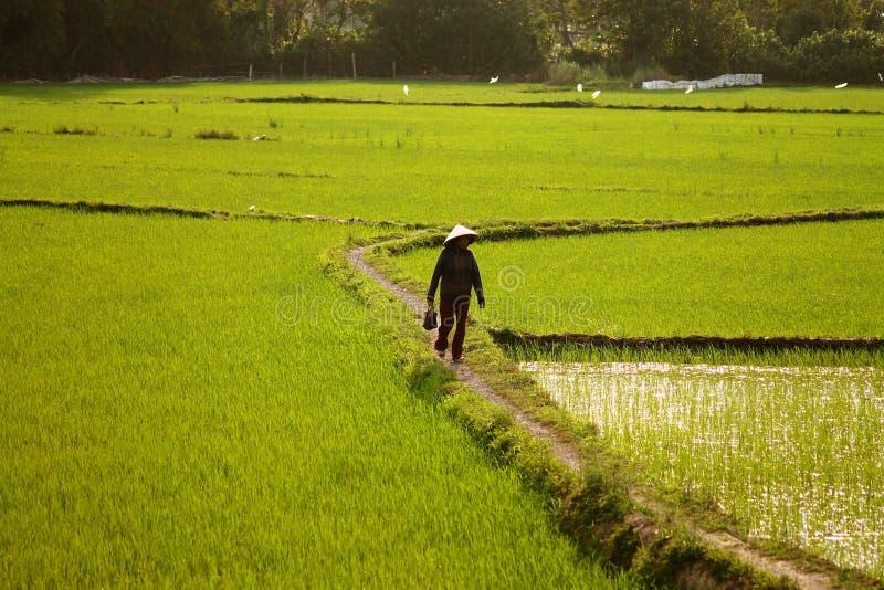 Pequeñas trayectorias de los campos del arroz fotografía de archivo