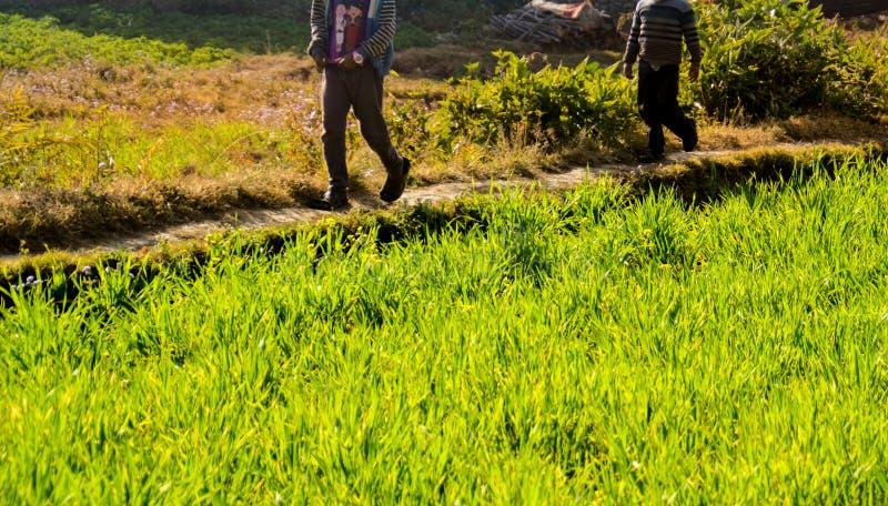 Pequeñas trayectorias de los campos del arroz imagen de archivo libre de regalías