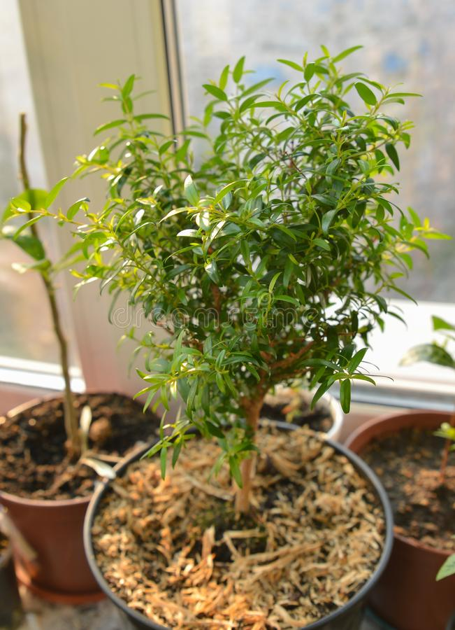Pequeño árbol con hojas verde hermoso del mirto - Myrtus en pote Arbusto fresco y decorativo imperecedero creciente del houseplan fotos de archivo