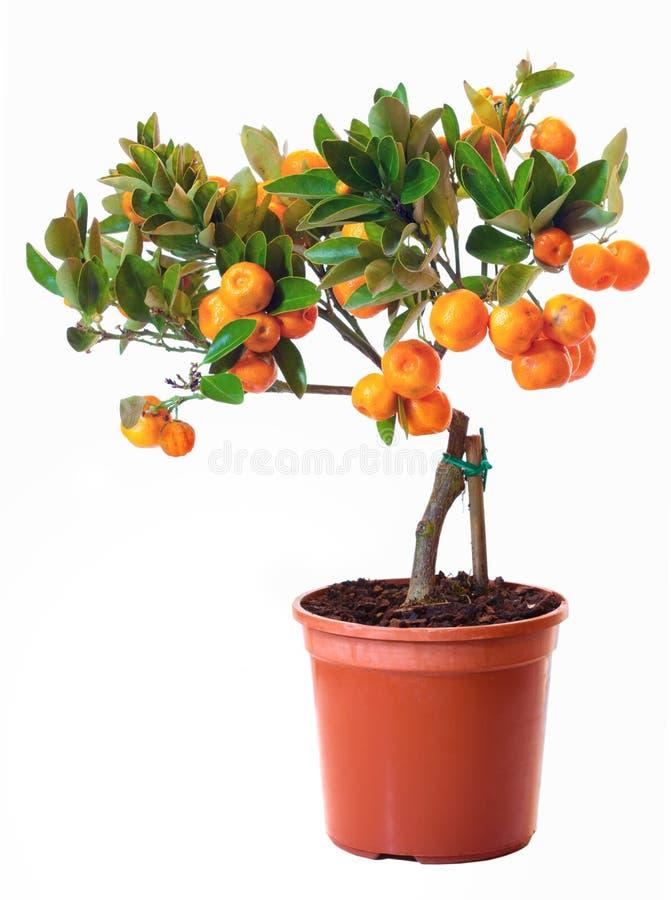 Pequeño árbol de fruta cítrica en el crisol imágenes de archivo libres de regalías