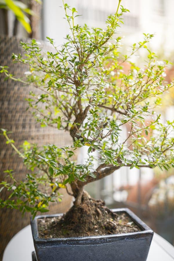 Pequeño árbol de los bonsais foto de archivo libre de regalías