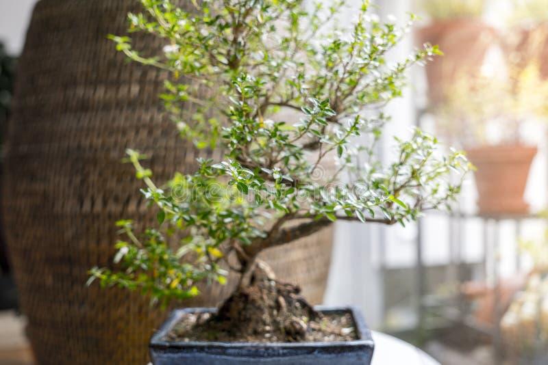 Pequeño árbol de los bonsais en un cuarto imágenes de archivo libres de regalías