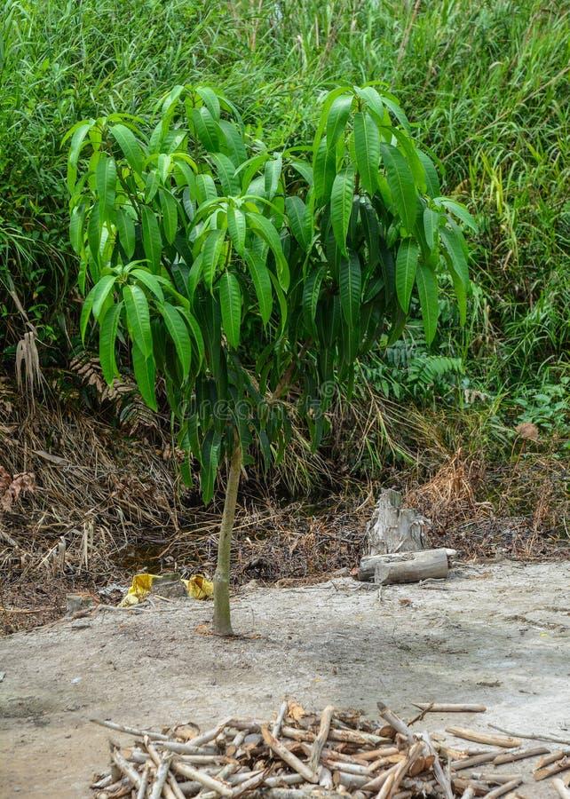 Pequeño árbol de mango en la plantación foto de archivo