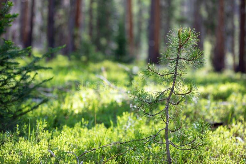 Pequeño árbol de pino con Sun que brilla intensamente sobre hierba enorme en Rocky Mountain National Park imagen de archivo