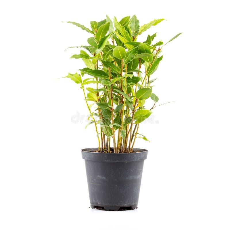 pequeño árbol del laurel en maceta foto de archivo - imagen: 66263985