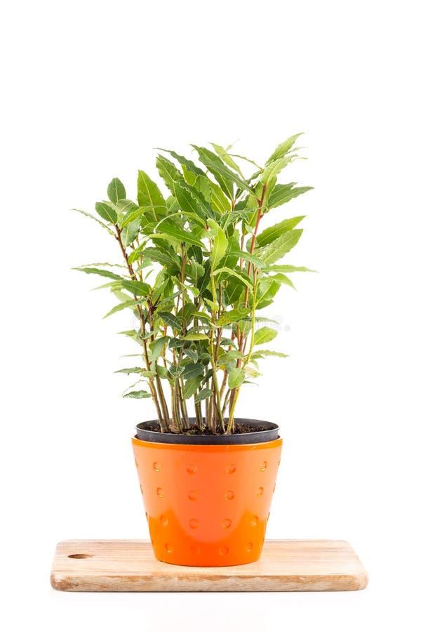pequeño árbol del laurel en maceta foto de archivo - imagen: 66263987