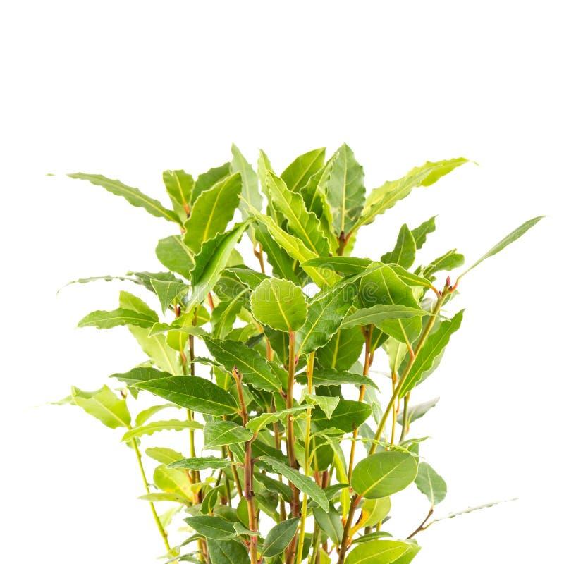 pequeño árbol del laurel en maceta foto de archivo - imagen: 67386836