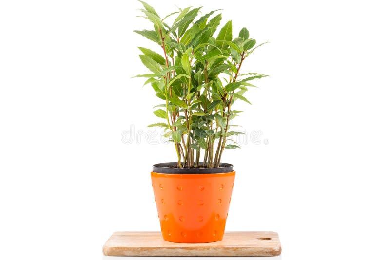 pequeño árbol del laurel en maceta foto de archivo - imagen: 67761752