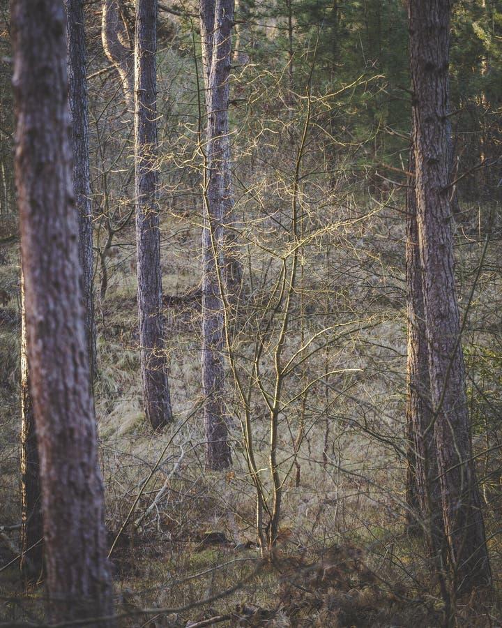 Pequeño árbol entre los árboles de pino grandes en un bosque oscuro foto de archivo libre de regalías