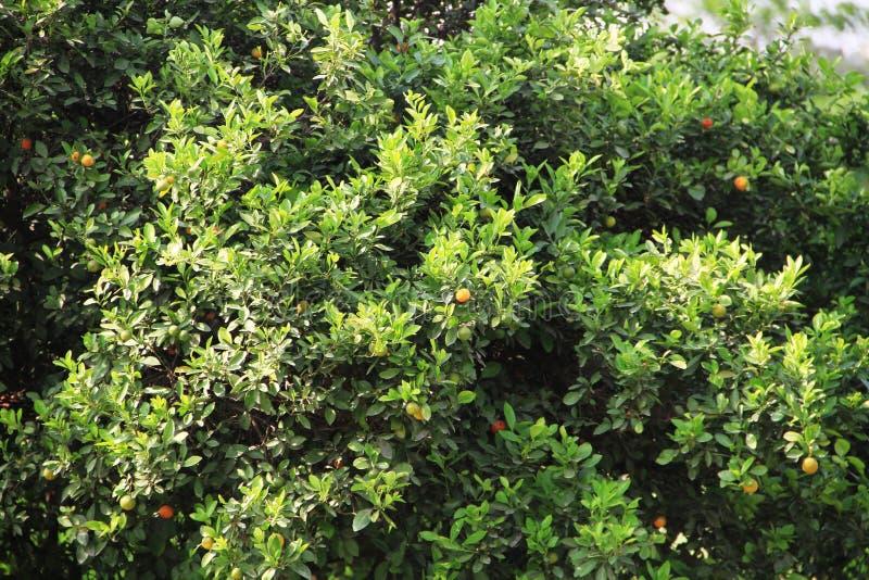 Pequeño árbol frutal anaranjado hermoso fotos de archivo