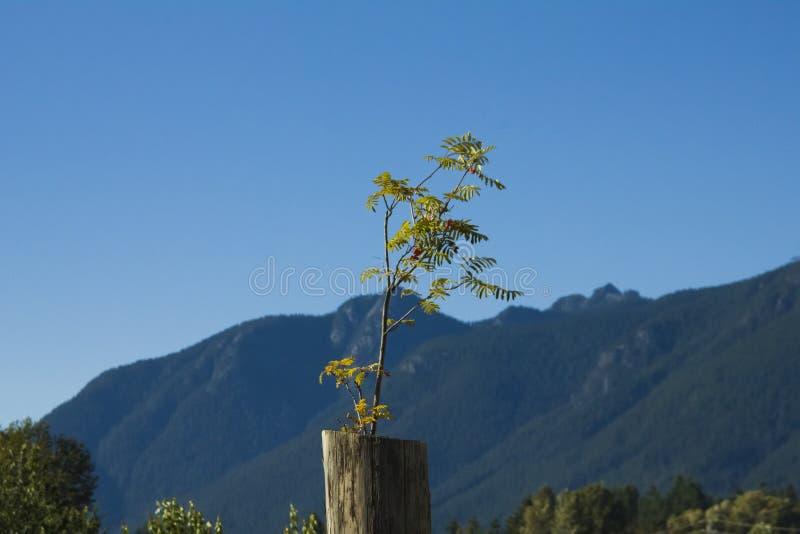 Pequeño árbol que crece fuera de un tocón foto de archivo