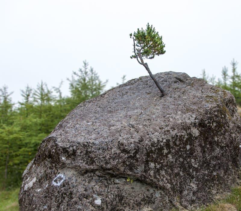 Pequeño árbol y roca grande fotos de archivo